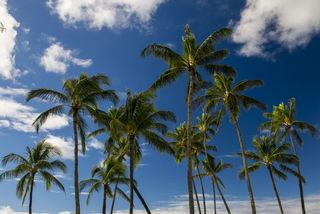 Kauai Palms print
