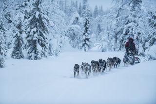 Lapland, Sweden, Vindelfjallen Nature Preserve, dog mushing, forest, winter