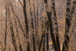 Cottonwoods and Frost print