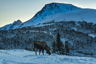 Moose and Flattop print