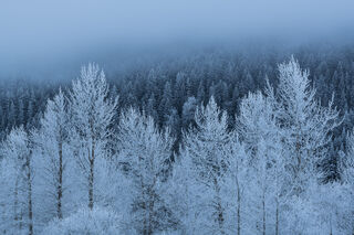 Frosty Trees and Fog print