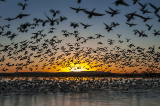 Birds, Bosque del Apache National Wildlife Refuge, NWR, New Mexico, flight, national wildlife refuge, snow geese, sunrise, thousands, wildlife, winter