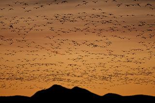 Snow Geese Dawn