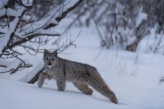 Stretching Lynx print