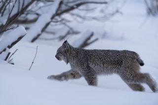 Lynx Crossing print