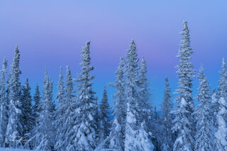 Snowy Trees at Dusk