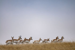 Passing Pronghorn print
