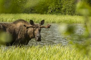 Munching Moose print