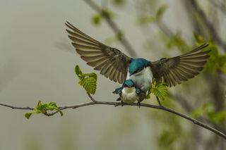 Tree Swallow Mating