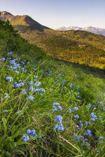 Anchorage, Chugach Mountains, alpine, morning, summer, wildflowers