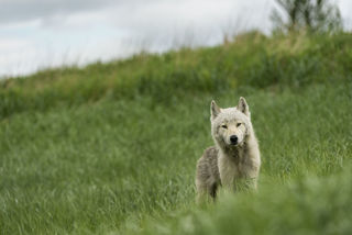 Curious Wolf print