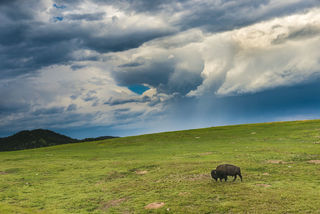 American bison, Black Hills, Custer State Park, South Dakota, plains, state park, summer, wildlife