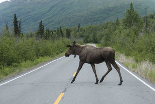 Moose Crossing print