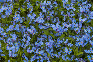 Forget-Me-Nots print