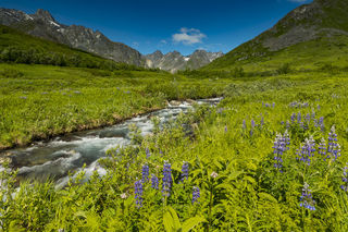 Lupine Valley print