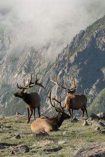 Elk Trio print
