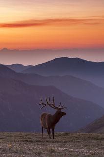 Bull Elk at Dawn print