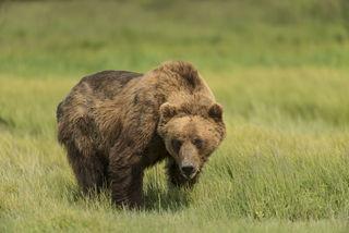 Grazing Bear print
