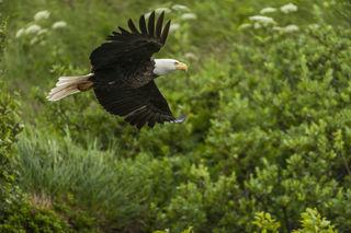 Birds, Katmai National Park & Preserve, Kukak Bay, bald eagle, raptor, summer, wildlife