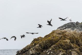 Cormorant Launch print