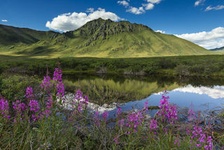 Canada, Tombstone Territorial Park, Yukon Territory, fireweed, green, morning, mountains, pink, summer