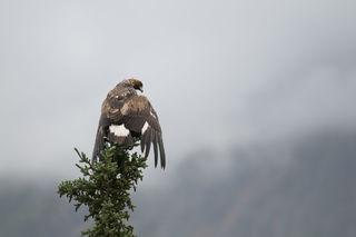 Resting Eagle print