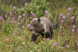 Cub in Fireweed print