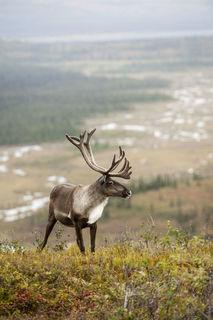 Bull Caribou, Denali print