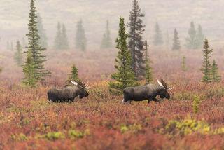 Alaska, Autumn, Denali National Park