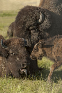 Bison Family print