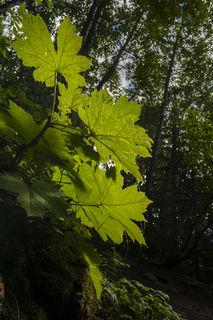 Backlit Leaves print