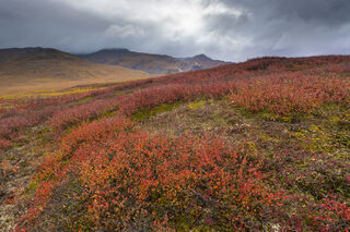 Arctic, Autumn, Brooks Range, dwarf birch, fall colors, tundra
