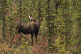 Alaska, Arctic, Autumn, Brooks Range, Bull Moose, wildlife