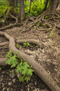 Trail Roots print