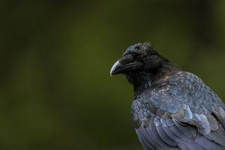Raven Portrait print