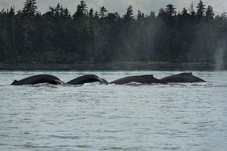 Whale Quartet print