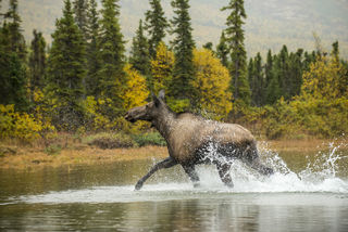 Cow Moose, Lake Clark print