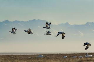 Arctic, Arctic National Wildlife Refuge, Autumn, Barter Island, Brooks Range, Kaktovik, migration, migrator birds, snow geese