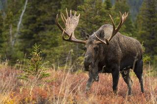Autumn, Bull Moose, Chugach State Park, Rut, wildlife