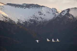 Trumpeters and Kenai print