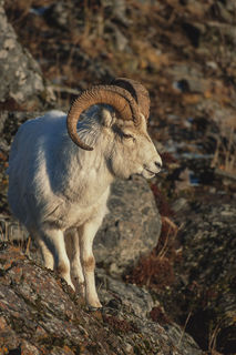 Dall sheep, Turnagain Arm, Windy Point, film, wildlife, winter