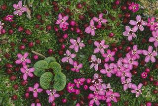 Chugach Mountains, Thompson Pass, alpine, alpine tundra, bearberry, moss campion, summer
