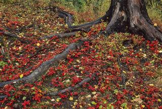 Alaska, Anchorage, Autumn, Dwarf dogwood, Kincaid Park, forest, ground cover, red, woods