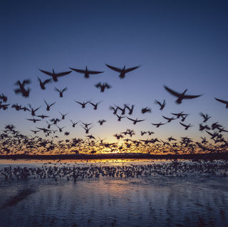 Birds, Bosque del Apache National Wildlife Refuge, New Mexico, film, migration, migratory birds, snow geese, sunrise, wildlife, winter