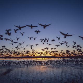 Birds, Bosque del Apache National Wildlife Refuge, New Mexico, film, migration, migratory birds, snow geese, sunrise, wildlife, winter