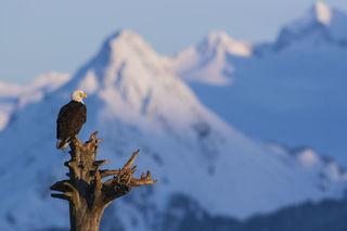 Alaska, Homer, Kachemak Bay, bald eagle, winter