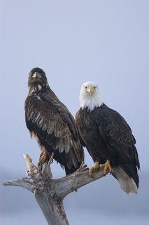 Alaska, Homer, Homer Spit, Kachemak Bay, bald eagle, immature, mature