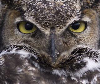 Alaska, Great Horned Owl, Homer, Homer Spit, Kachemak Bay