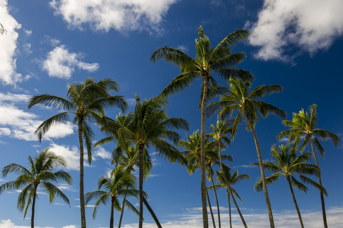 A stand of palm trees against blue skies and scattered clouds in Kauai.