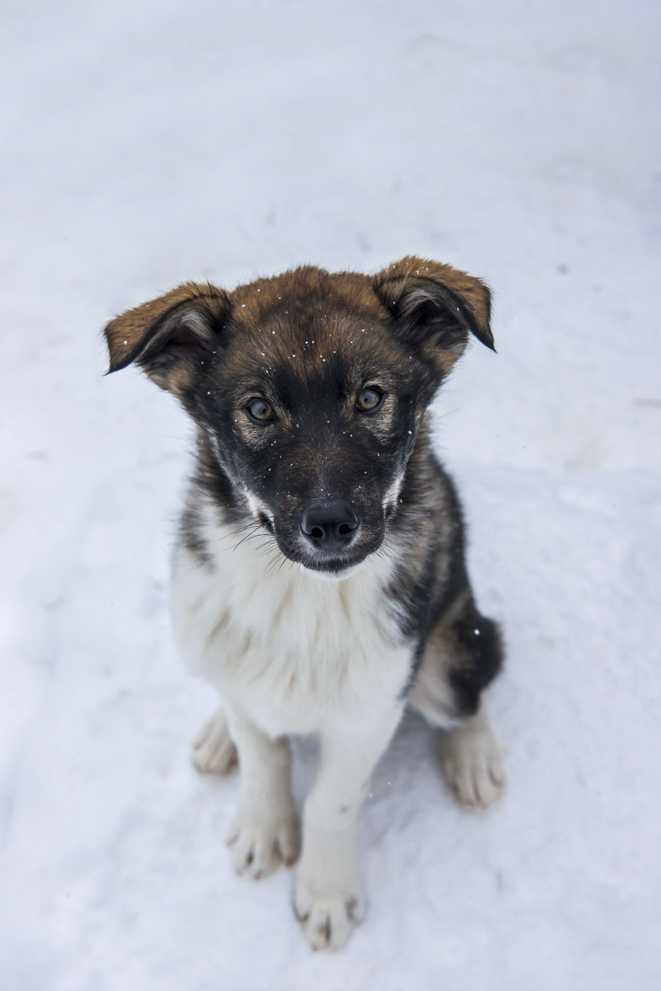 A curious, bold huskey puppy sits still for a potrait in the kennels.